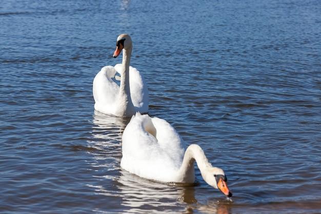 Witte zwanen die op het meer bij de stad leven, prachtige grote watervogels in het voorjaar terwijl ze op zoek zijn naar een paar