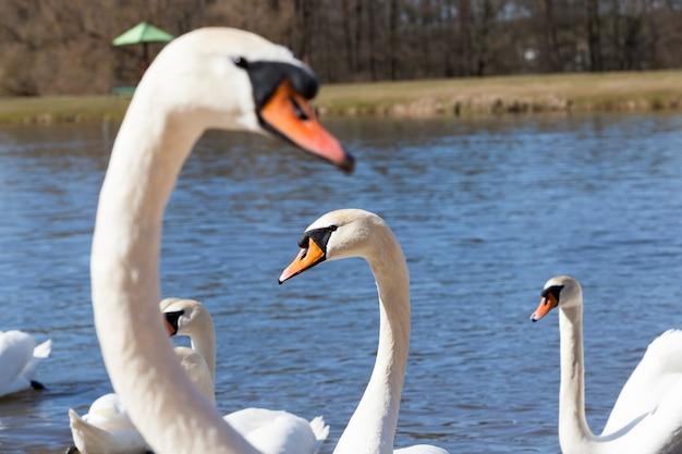 Witte zwanen die op het meer drijven