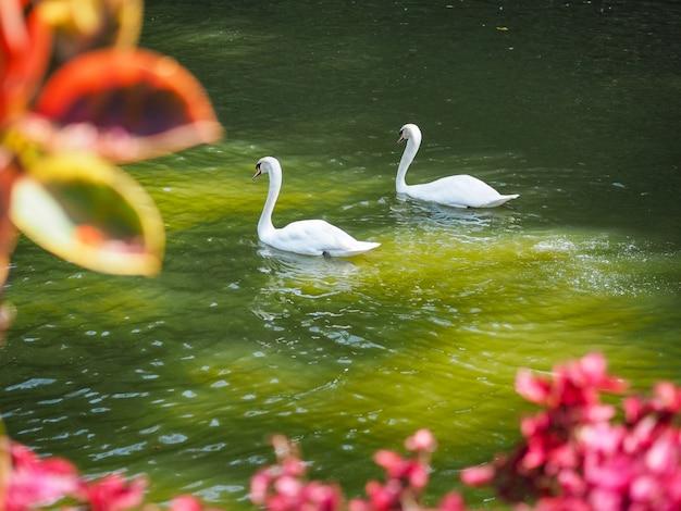 Witte zwanen die op water bij meer drijven