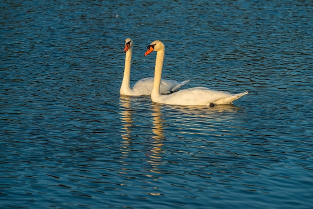 Witte zwanen in de rivier, een paar zwanenfamilie