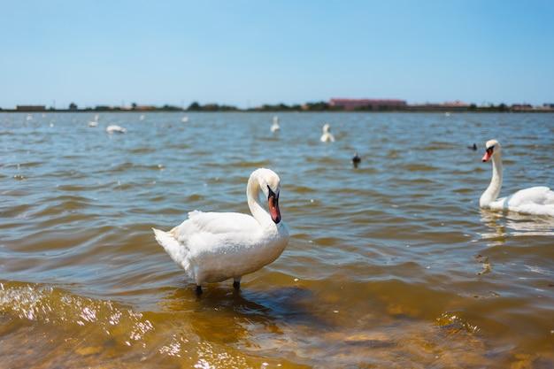 Witte zwanen met eendjes op een meer tegen de achtergrond van de stad