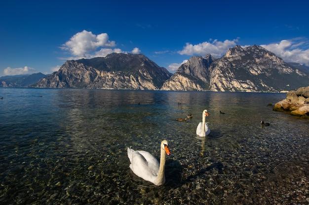 Witte zwanen op het lago di garda meer in alpine landschap. italië.