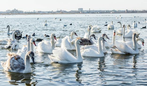 Witte zwanen op het meer