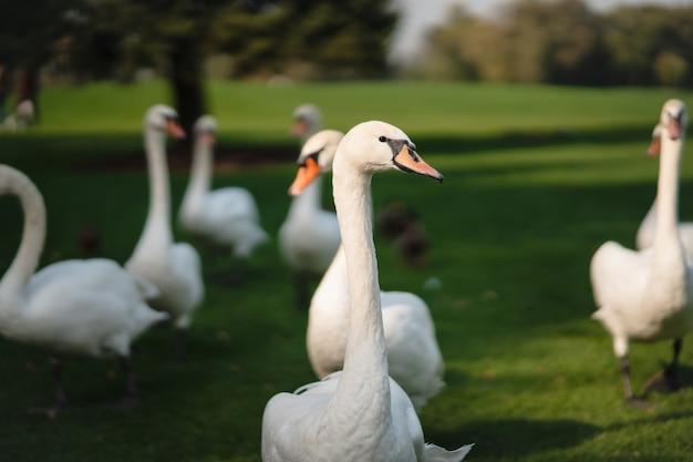 Witte zwanen rusten op het groene gras in het park. mooie zwanen levensstijl.