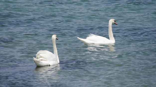 Witte zwanen zwemmen in de zee in de buurt van de kust.
