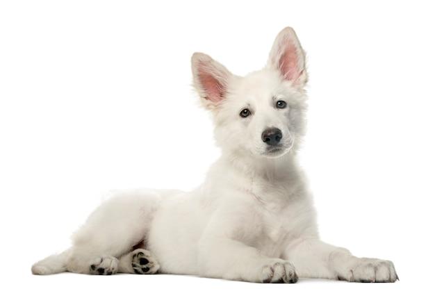 Witte zwitserse herder pup liggen en kijken naar de camera