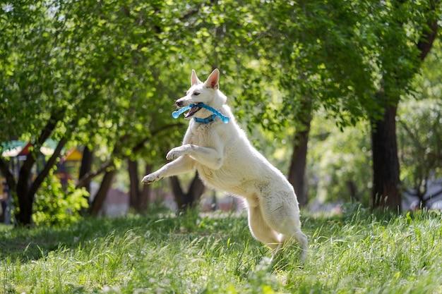 Witte zwitserse herdershond met speelgoed op een groene weide. gelukkige hond springen in de natuur. wandelen met huisdieren.