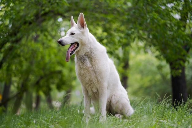 Witte zwitserse herdershond zit op het gras. de vrolijke vriendelijke hond stak zijn tong uit. lieve huisdieren.