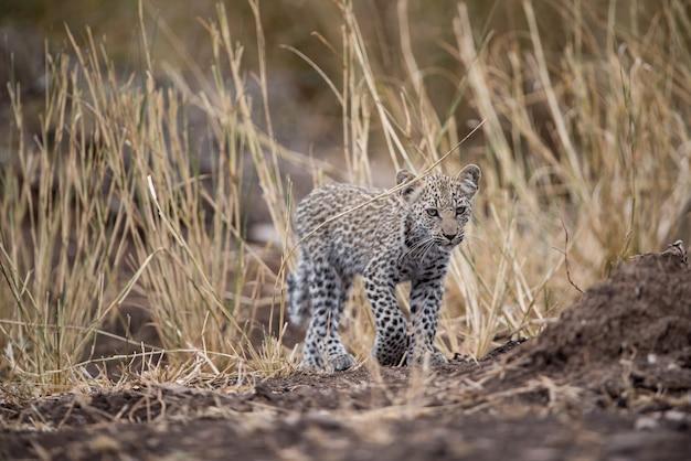 Woest uitziende afrikaanse babyluipaard met een vage achtergrond
