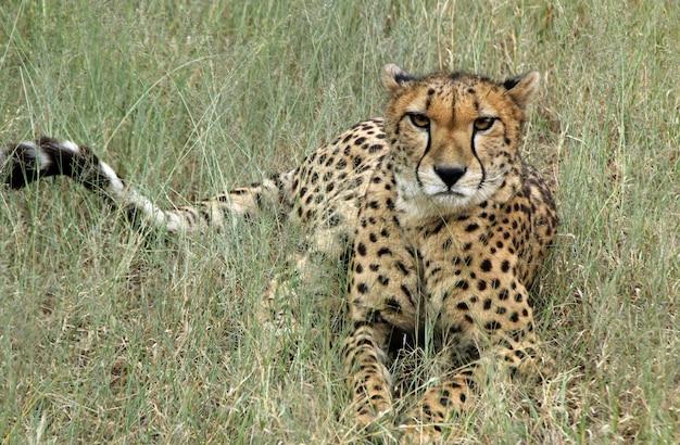 Woeste cheetah liggend in het midden van een grasveld