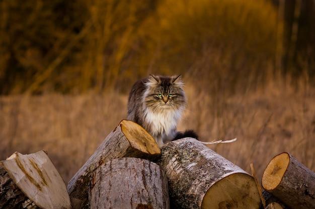 Woeste pluizige kat zittend op de woodangry kat gaat muizen jagen de kat heeft groene ogen achtergrond wazig