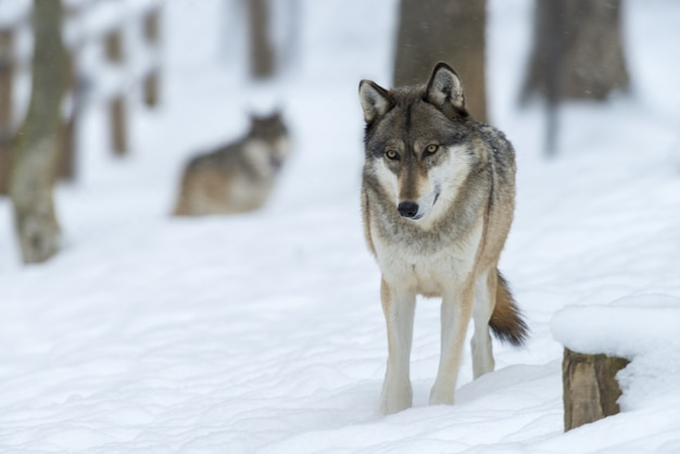 Wolf in een bos bedekt met de sneeuw onder het zonlicht