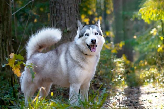 Wolfachtige husky, volle groei op de achtergrond van het bos. canadese, noordelijke hond.