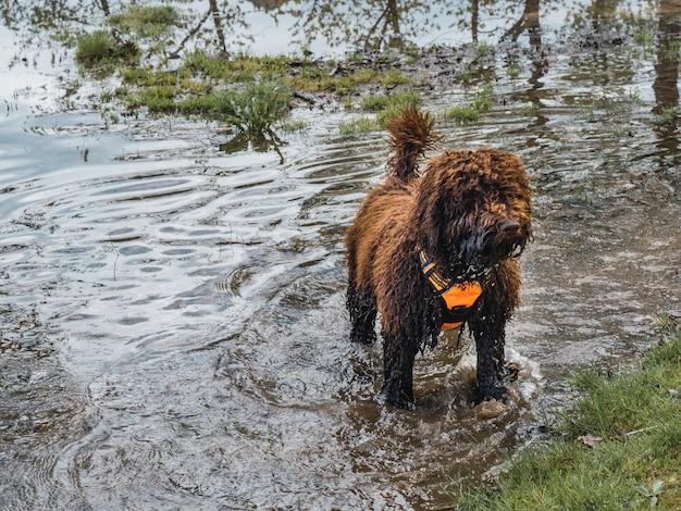 Wollige puppy die zich op punt in lagune bevindt. bruin puppy met harnas dat zich in het water van het meer bevindt.