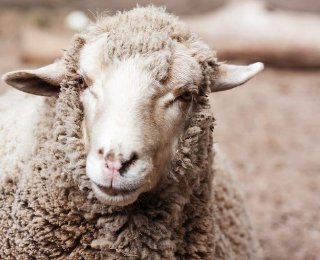 Wollige schapen in de dierentuin