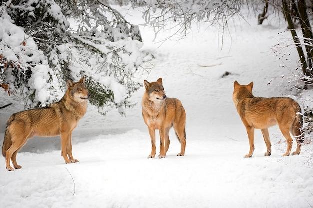 Wolven in de winter