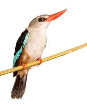 Woodland kingfisher - halcyon senegalensis geïsoleerd.