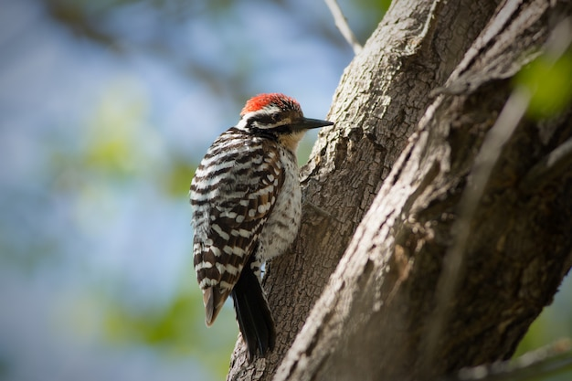 Woodpecker met ladder