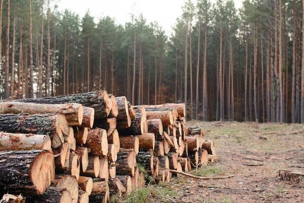 Woodpile van vers geoogste grenen logs ligt in de buurt van het dennenbos