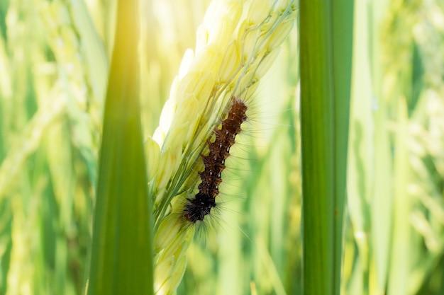 Worm die rijstblad op gebied eet.