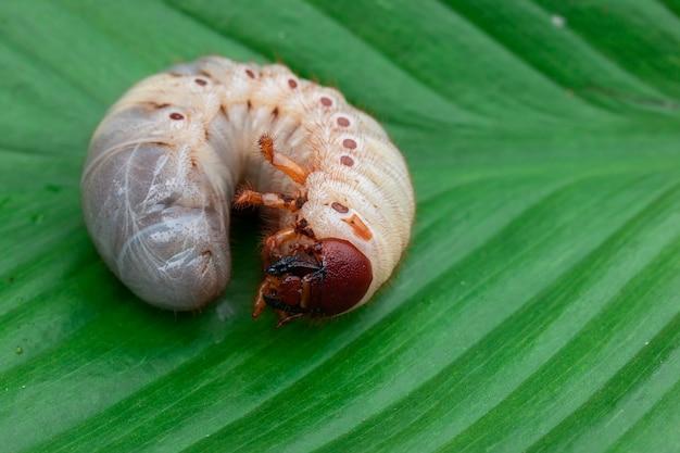 Worm van de dynastinae op groen blad