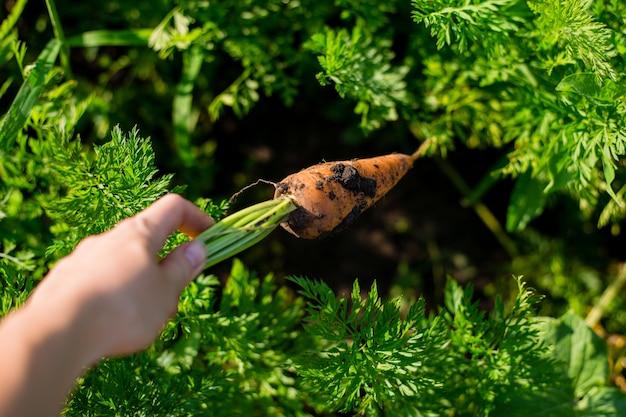 Wortel in de hand. grote verse oranje wortel in een vrouwelijke hand op een achtergrond van de tuin. landbouwconcept, tuinieren, groenten verbouwen