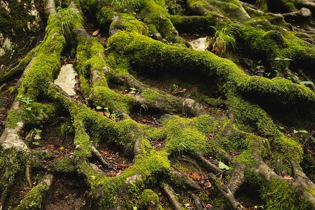 Wortels bedekt met mos in het bos