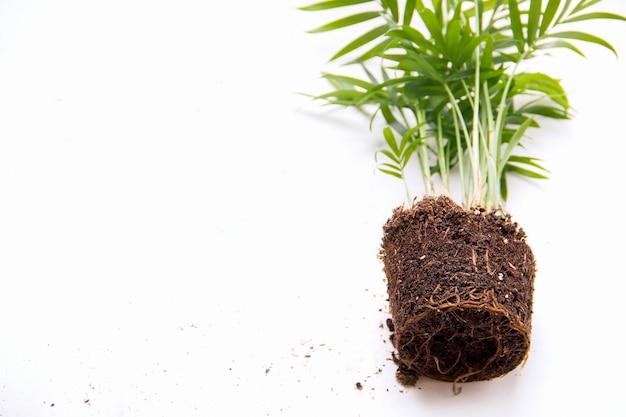 Wortels in de grond van chamaedorea-palmboomclose-up. plant transplantatie concept. kopieer ruimte