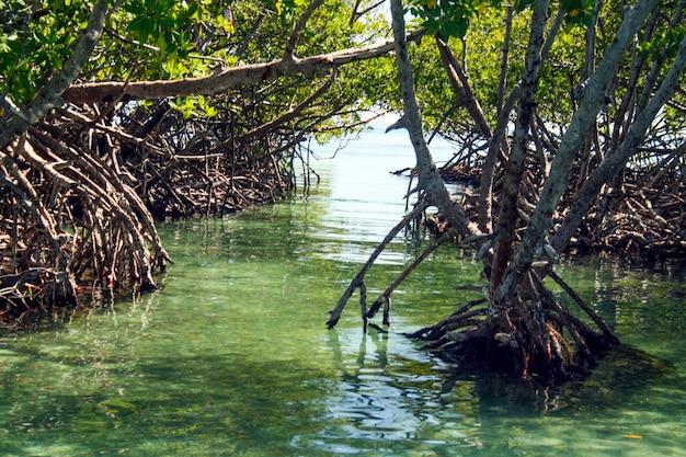 Wortels van tropische planten die oprijzen uit het turquoise zeewater in puerto rico