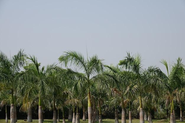 Woud van palmbomen