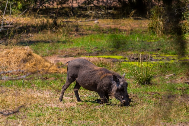 Wrattenzwijn die gras in het kruger-natuurreservaat op een afrikaanse safari eten