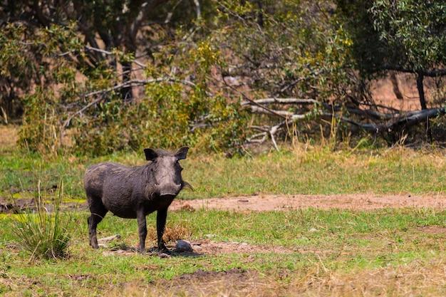 Wrattenzwijn eet gras in het natuurreservaat kruger tijdens een afrikaanse safari op mijn huwelijksreis in oktober 2017