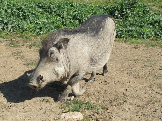 Wrattenzwijn in een natuurlijke omgeving