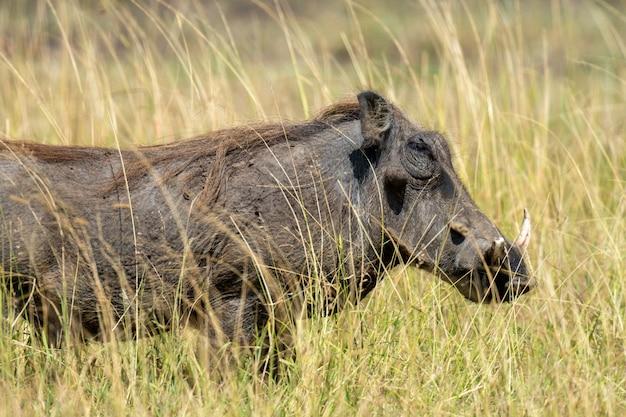 Wrattenzwijn in het nationaal park van kenia, afrika