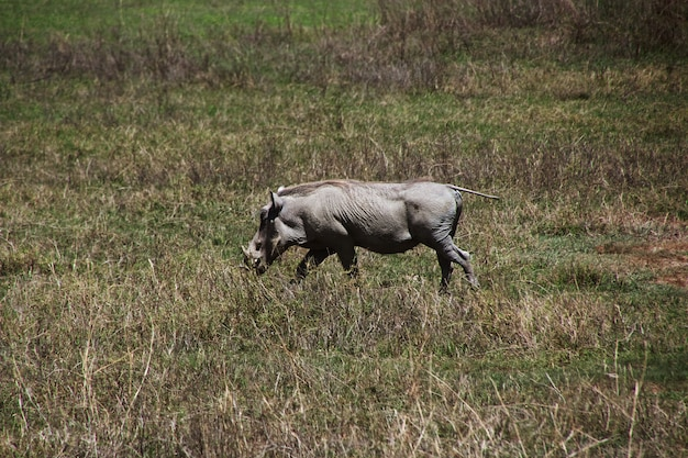 Wrattenzwijn op safari in kenia en tanzania, afrika