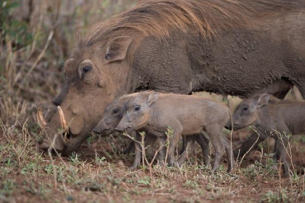 Wrattenzwijn zoekt samen met haar biggen naar voedsel