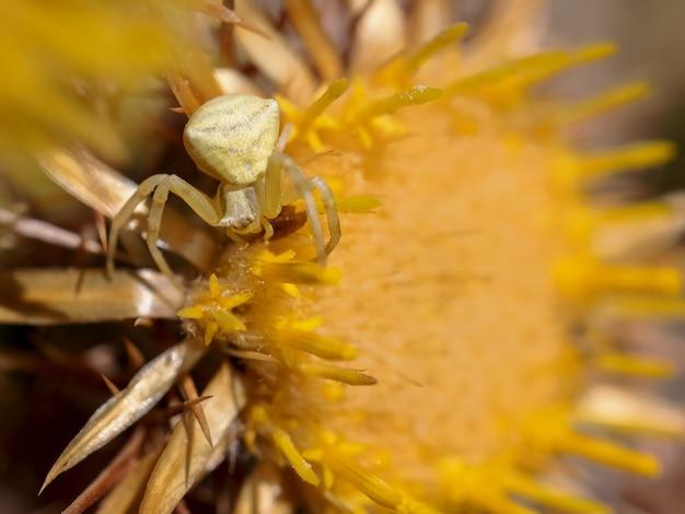 Yellow crab spider in zijn natuurlijke omgeving.