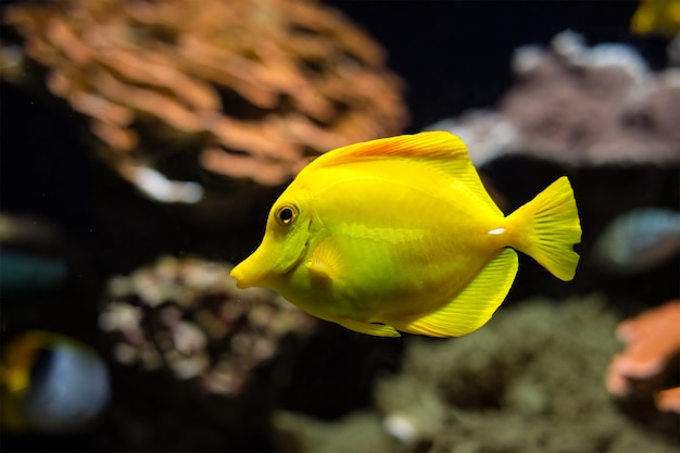 Yellow tang zebrasoma flavescens vis onder water in zee
