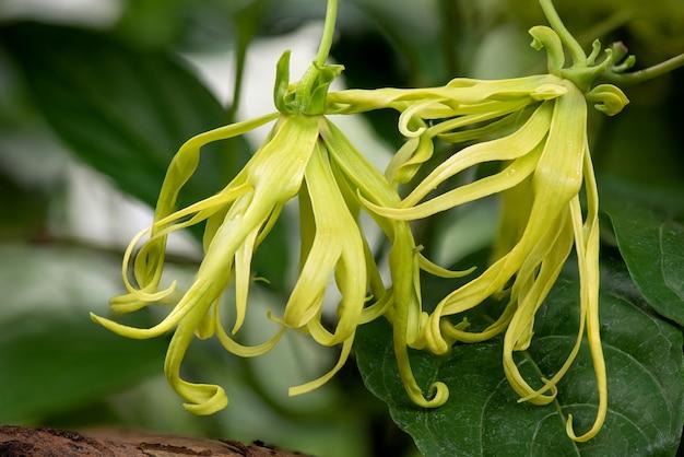 Ylang-ylang of cananga odorata bloeit op de natuur.