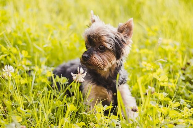 Yokshire terrier voor een wandeling in het gras