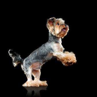 Yorkiepuppy die zich op achterste benen bevinden die op zwarte worden geïsoleerd