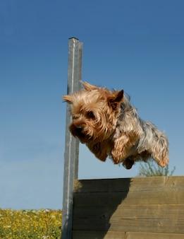 Yorkshire springen