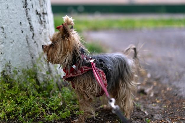 Yorkshire terrier aangelijnd voor een wandeling
