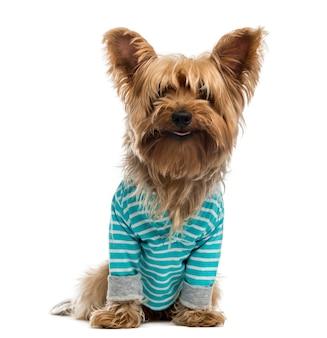Yorkshire terrier draagt een gestreept blauw shirt