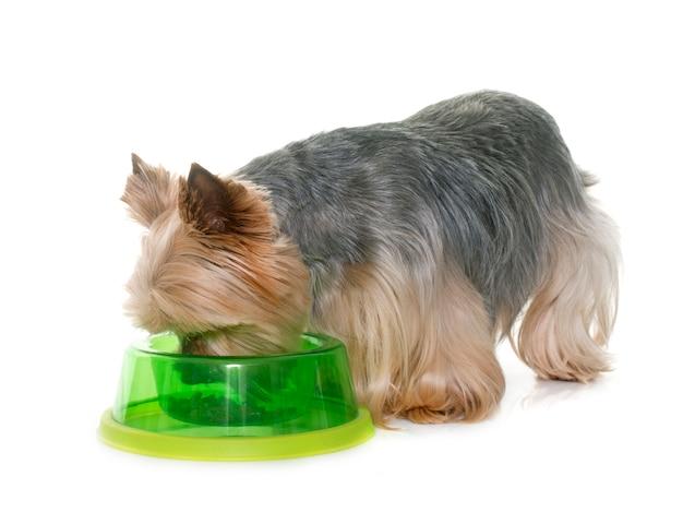 Yorkshire terrier eten