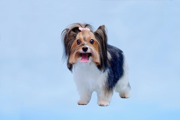 Yorkshire terrier hond in rek na slijpen op blauwe achtergrond