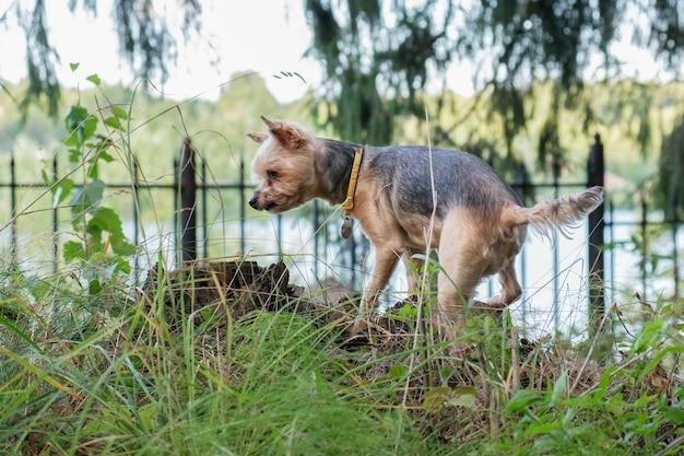 Yorkshire terrier-hond kijkt om zich heen terwijl hij op een zomerdag door het platteland in het bos loopt