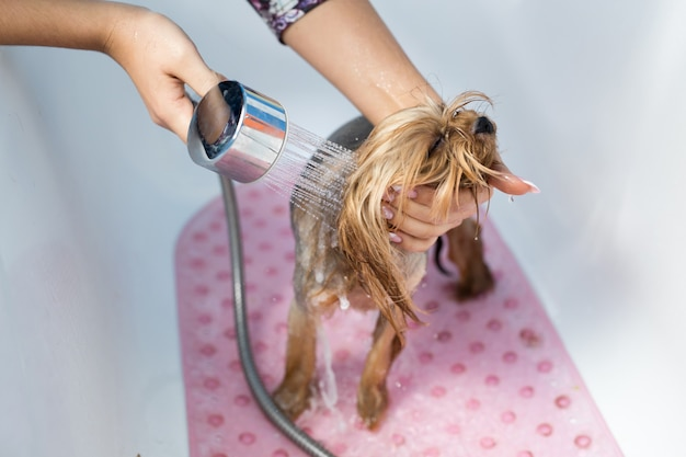 Yorkshire terrier in de badkamer in de schoonheidssalon voor honden. zorg voor yorkshire terriers close-up.