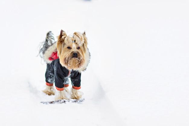 Yorkshire terriër in de sneeuw