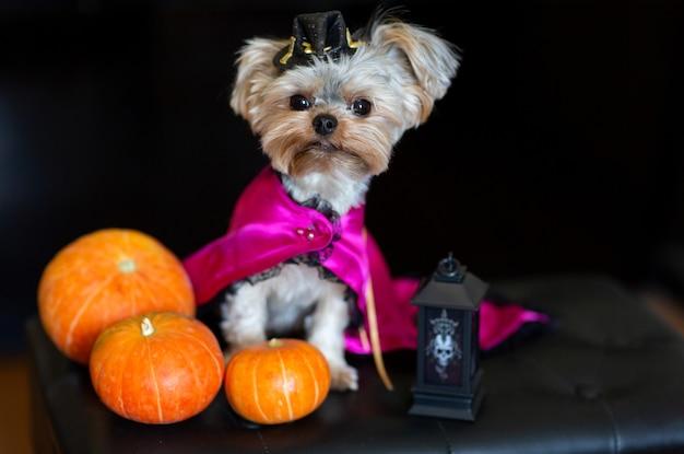 Yorkshire terrier in een grappig carnavalskostuum tegen de achtergrond van halloween-versieringen